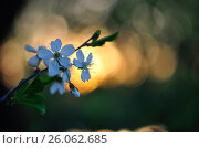 Купить «Цветущий терновник, закат», фото № 26062685, снято 19 августа 2018 г. (c) Юрий Фатеев / Фотобанк Лори
