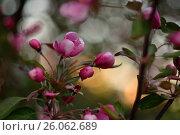 Купить «Цветущая розовыми цветами яблоня на закате», фото № 26062689, снято 19 августа 2018 г. (c) Юрий Фатеев / Фотобанк Лори