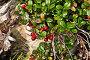 Кустик брусники, фото № 26087949, снято 15 августа 2015 г. (c) Сергей Дрозд / Фотобанк Лори