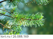 Ветка сосны с каплями дождя на иголках. Стоковое фото, фотограф Татьяна Белова / Фотобанк Лори