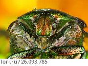 Купить «Жук с доспехами», фото № 26093785, снято 7 августа 2012 г. (c) Geraldas Galinauskas / Фотобанк Лори