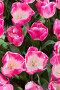 Background of colorful fresh tulips at Keukenhof garden, the Netherlands, фото № 26094509, снято 24 апреля 2016 г. (c) Руслан Кудрин / Фотобанк Лори