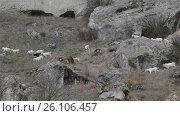 Купить «Goats grazing in the mountains cloudy day», видеоролик № 26106457, снято 16 сентября 2016 г. (c) Gennadiy Iotkovskiy / Фотобанк Лори