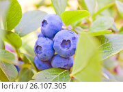 Купить «A bunch of large blueberries», фото № 26107305, снято 4 августа 2015 г. (c) Анна Гучек / Фотобанк Лори