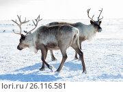 Купить «Северный олень в ямальской тундре зимой», фото № 26116581, снято 14 апреля 2017 г. (c) Владимир Мельников / Фотобанк Лори