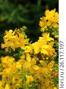 Желтые цветы зверобоя. Стоковое фото, фотограф Юлия Болоцкая / Фотобанк Лори