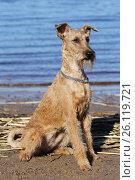 Купить «Собака породы ирландский терьер сидит на берегу озера», фото № 26119721, снято 28 апреля 2017 г. (c) Анна Зеленская / Фотобанк Лори