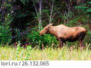 Купить «Moose», фото № 26132065, снято 24 августа 2019 г. (c) easy Fotostock / Фотобанк Лори