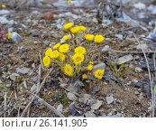 Ранние цветы мать-и-мачехи. Стоковое фото, фотограф Светлана Попова / Фотобанк Лори