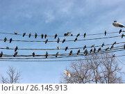 Голуби отдыхают на проводах. Стоковое фото, фотограф Kostin sergey aleksandrovich / Фотобанк Лори