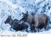 Купить «Moose, Alces alces, with calf in winter time time, with snowy trees around, Tjåmotis, Jokkmokk, Swedish Lapland, Sweden.», фото № 26156897, снято 15 января 2013 г. (c) age Fotostock / Фотобанк Лори