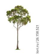 Купить «Green eucalyptus tree», фото № 26158521, снято 1 ноября 2015 г. (c) Кропотов Лев / Фотобанк Лори