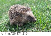Hedgehog rests upon herb. Стоковое фото, фотограф Сергей Овчинников / Фотобанк Лори