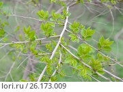 Купить «Ветка с молодыми листьями вяза приземистого (Ulmus pumila L.)», фото № 26173009, снято 19 апреля 2017 г. (c) Ирина Борсученко / Фотобанк Лори