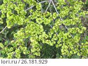 Купить «Зеленые плоды вяза приземистого (Ulmus pumila L.), фон», фото № 26181929, снято 21 апреля 2017 г. (c) Ирина Борсученко / Фотобанк Лори