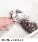 Купить «Котенок», фото № 26183381, снято 1 марта 2017 г. (c) Гладских Татьяна / Фотобанк Лори