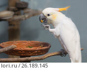 Купить «Белый попугай какаду», фото № 26189145, снято 19 апреля 2017 г. (c) Галина Савина / Фотобанк Лори