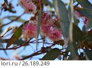 Цветки эвкалипта. Стоковое фото, фотограф Татьяна Никитина / Фотобанк Лори