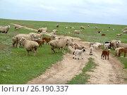Купить «Отара овец переходит грунтовую дорогу в степи. Калмыкия», фото № 26190337, снято 20 апреля 2017 г. (c) Ирина Борсученко / Фотобанк Лори