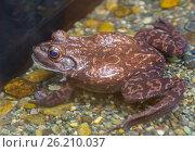Купить «Американская лягушка, или бык-лягушка American Bull Frog», фото № 26210037, снято 19 апреля 2017 г. (c) Галина Савина / Фотобанк Лори