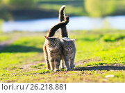 Купить «Two cute striped kitten walking arm in arm on a green meadow and holding up the tails on a Sunny summer day», фото № 26218881, снято 3 мая 2017 г. (c) Бачкова Наталья / Фотобанк Лори