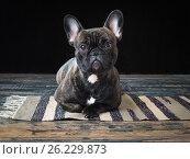 Купить «The dog stares while lying on the floor», фото № 26229873, снято 22 августа 2019 г. (c) Ирина Козорог / Фотобанк Лори