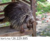Североамериканский Дикобраз North American Porcupine. Стоковое фото, фотограф Галина Савина / Фотобанк Лори