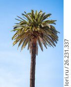 Купить «Tropical palm tree on the sky background», фото № 26231337, снято 11 ноября 2016 г. (c) Юрий Губин / Фотобанк Лори
