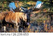 Купить «Moose in the denali national park Alaska stretches out tongue», фото № 26239653, снято 24 августа 2019 г. (c) easy Fotostock / Фотобанк Лори