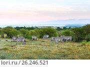 Купить «herd of zebras grazing in savannah at africa», фото № 26246521, снято 18 февраля 2017 г. (c) Syda Productions / Фотобанк Лори