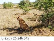 Купить «lioness hunting in savannah at africa», фото № 26246545, снято 18 февраля 2017 г. (c) Syda Productions / Фотобанк Лори
