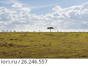 Купить «landscape with acacia trees in savannah at africa», фото № 26246557, снято 19 февраля 2017 г. (c) Syda Productions / Фотобанк Лори