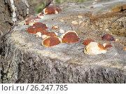 Грибы трутовики окаймлённые (лат. Fomitopsis pinicola) растут на старом пне. Стоковое фото, фотограф Елена Коромыслова / Фотобанк Лори
