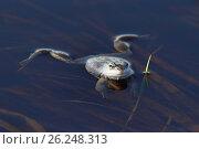 Купить «Остромордая лягушка, или болотная лягушка (лат. Rana arvalis) плавает на поверхности воды», фото № 26248313, снято 23 апреля 2017 г. (c) Григорий Писоцкий / Фотобанк Лори