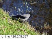 Купить «Серая ворона (Corvus cornix) у воды», фото № 26248337, снято 4 мая 2017 г. (c) Григорий Писоцкий / Фотобанк Лори