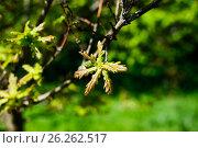 Молодые листья дуба, фото № 26262517, снято 10 мая 2017 г. (c) Татьяна Кахилл / Фотобанк Лори