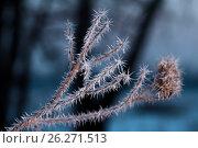 Купить «Репейник и ледяные иголки», фото № 26271513, снято 1 июня 2020 г. (c) Mike The / Фотобанк Лори