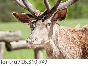 Beautiful deer portrait. Стоковое фото, фотограф Anton Chechotkin / Фотобанк Лори