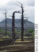 Купить «Мертвый лес на Камчатке», фото № 26318393, снято 25 июня 2014 г. (c) А. А. Пирагис / Фотобанк Лори