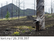 Купить «Мертвый лес на Камчатке», фото № 26318397, снято 25 июня 2014 г. (c) А. А. Пирагис / Фотобанк Лори