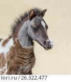 Портрет серебристо-гнедо-пегого жеребенка Американской миниатюрной лошади. Стоковое фото, фотограф Абрамова Ксения / Фотобанк Лори
