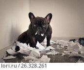 Купить «Blame the dog made a mess in the room. Playful puppy French bulldog», фото № 26328261, снято 19 июля 2018 г. (c) Ирина Козорог / Фотобанк Лори