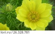 Adonis spring, Goricvet, Starodubka, spring flowers. Стоковое видео, видеограф Станислав Сергеев / Фотобанк Лори
