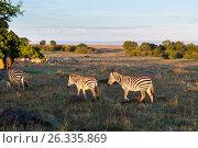 Купить «herd of zebras grazing in savannah at africa», фото № 26335869, снято 18 февраля 2017 г. (c) Syda Productions / Фотобанк Лори