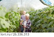 Купить «old farmers picking cucumbers at farm greenhouse», фото № 26336313, снято 25 августа 2016 г. (c) Syda Productions / Фотобанк Лори