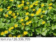 Купить «Лютики весенние (лат. Ranunculus ficaria)», фото № 26336705, снято 3 мая 2017 г. (c) Елена Коромыслова / Фотобанк Лори