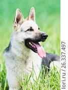 Купить «East european purebred shepherd dog in field», фото № 26337497, снято 6 мая 2017 г. (c) Дмитрий Калиновский / Фотобанк Лори