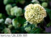Купить «Белый цветок бульданеш на зеленом фоне», фото № 26339181, снято 20 июня 2019 г. (c) Скляров Роман / Фотобанк Лори