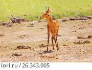 Single male oribi standing in Kenyan savannah (2015 год). Стоковое фото, фотограф Сергей Новиков / Фотобанк Лори
