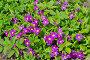 Примула Юлии (лат. Primula juliae), фото № 26343213, снято 19 мая 2017 г. (c) Елена Коромыслова / Фотобанк Лори